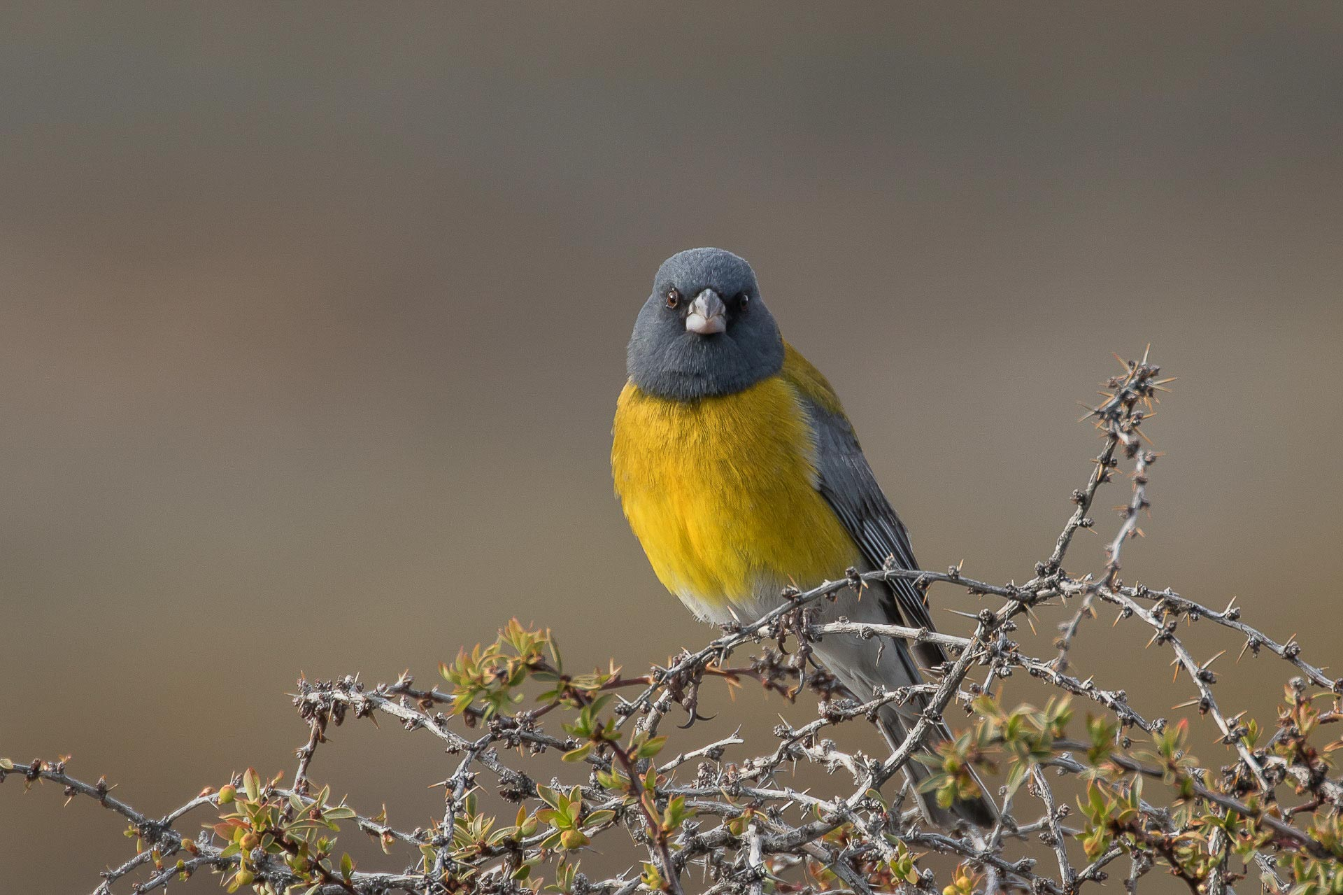 Sierra-finch, Grey-hooded