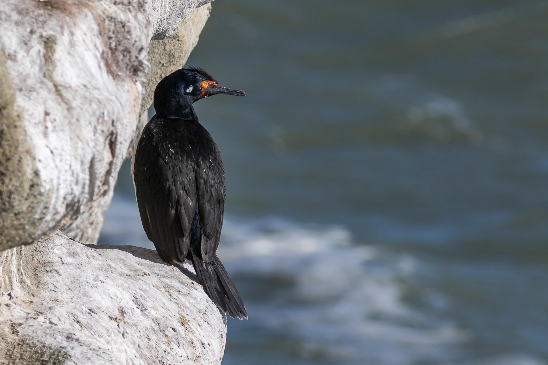 Cormorant, Magellanic