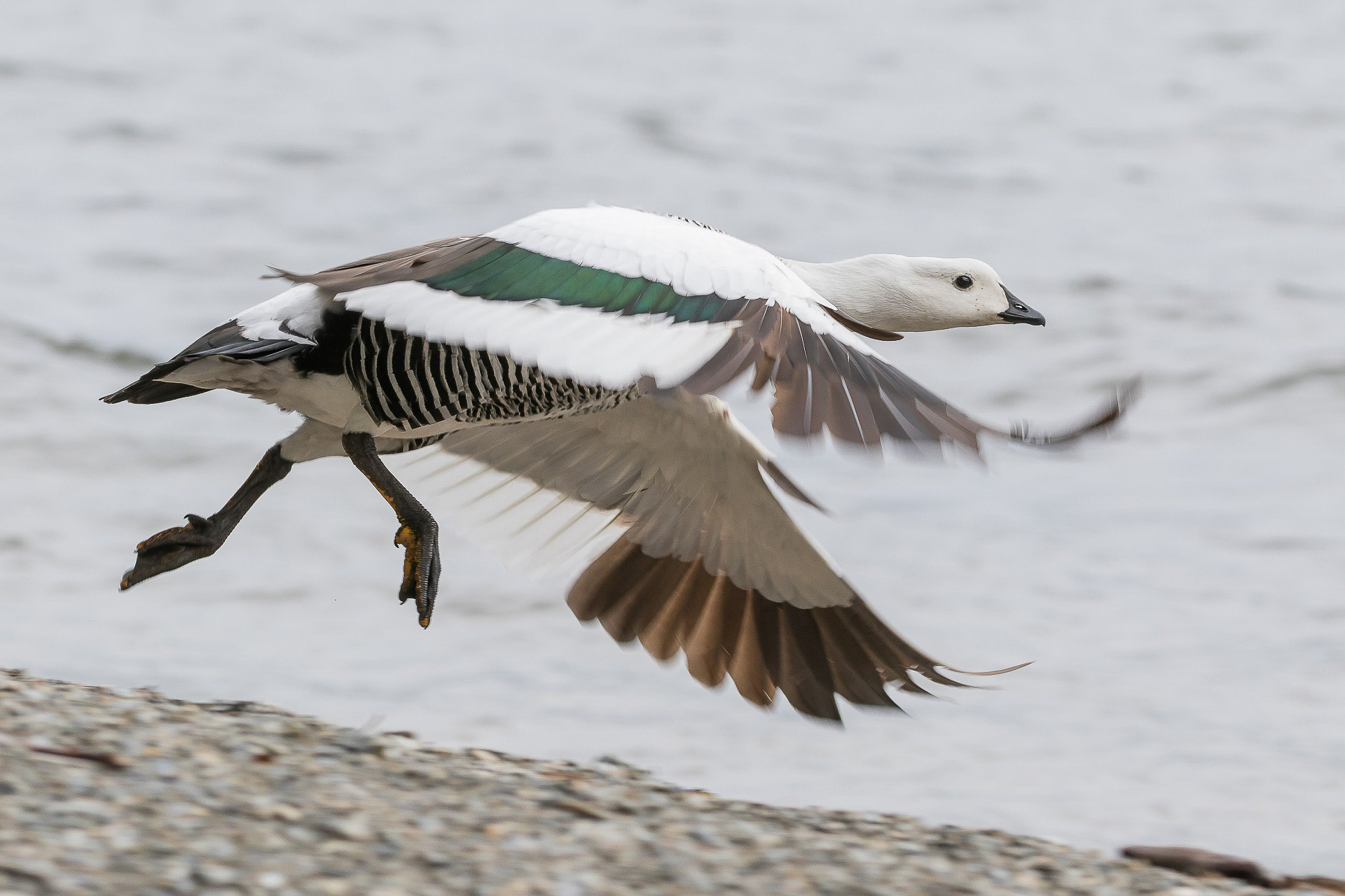 Goose, Upland