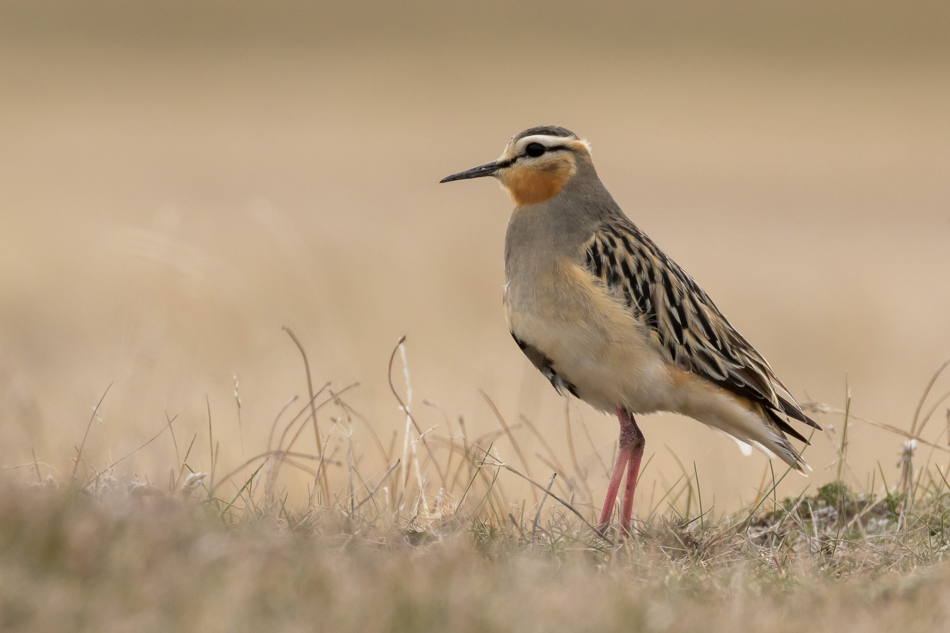 Dotterel, Twany-throated