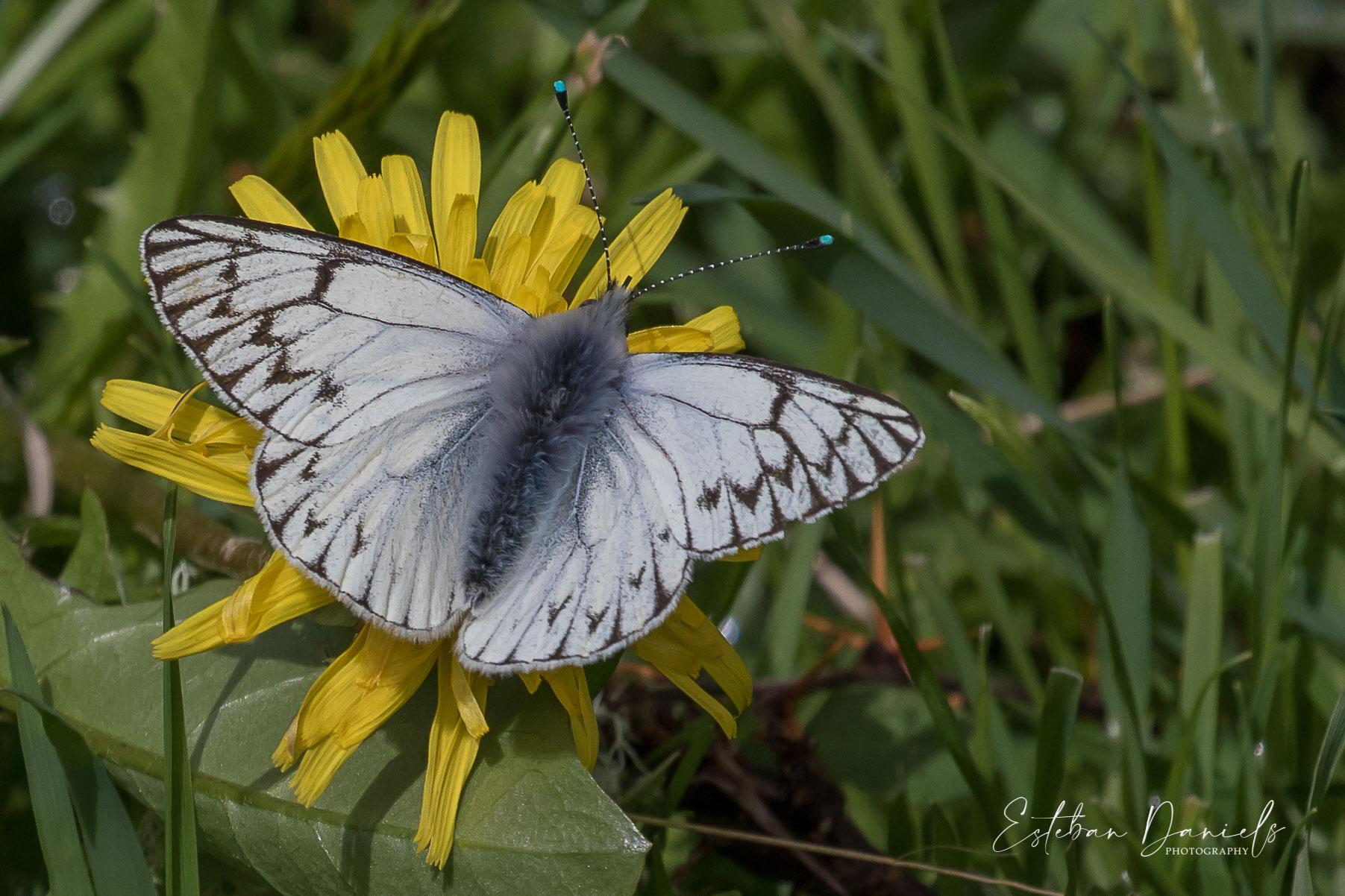 Butterfly Lechera