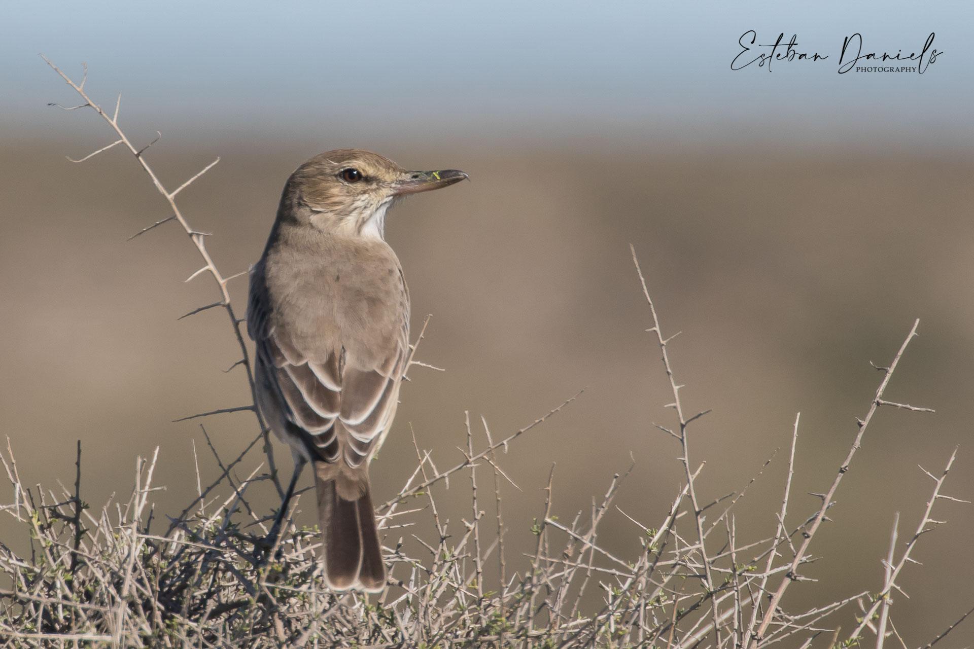 Grey-bellied Shrike-Tyrant