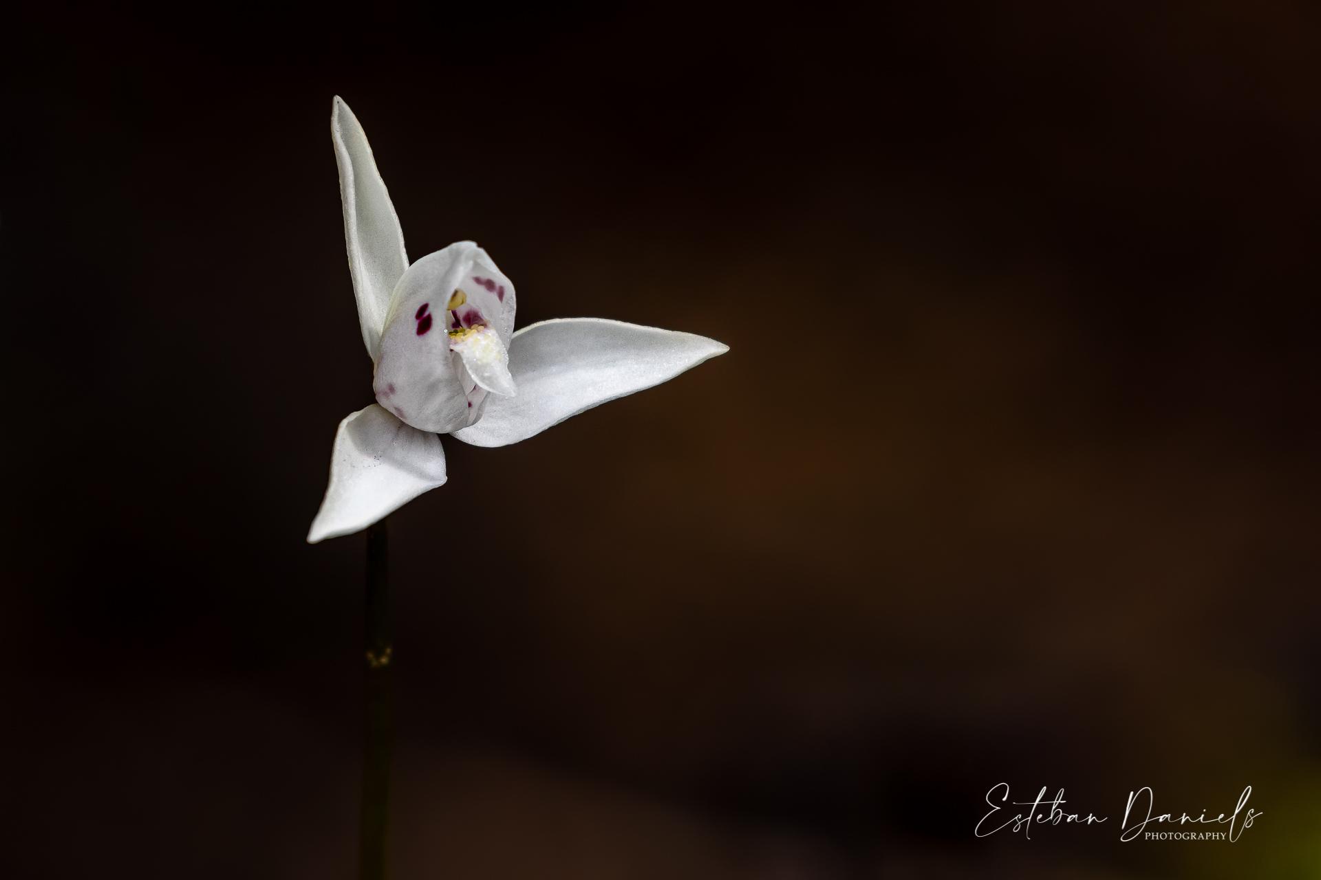 Dog Orchid Palomita