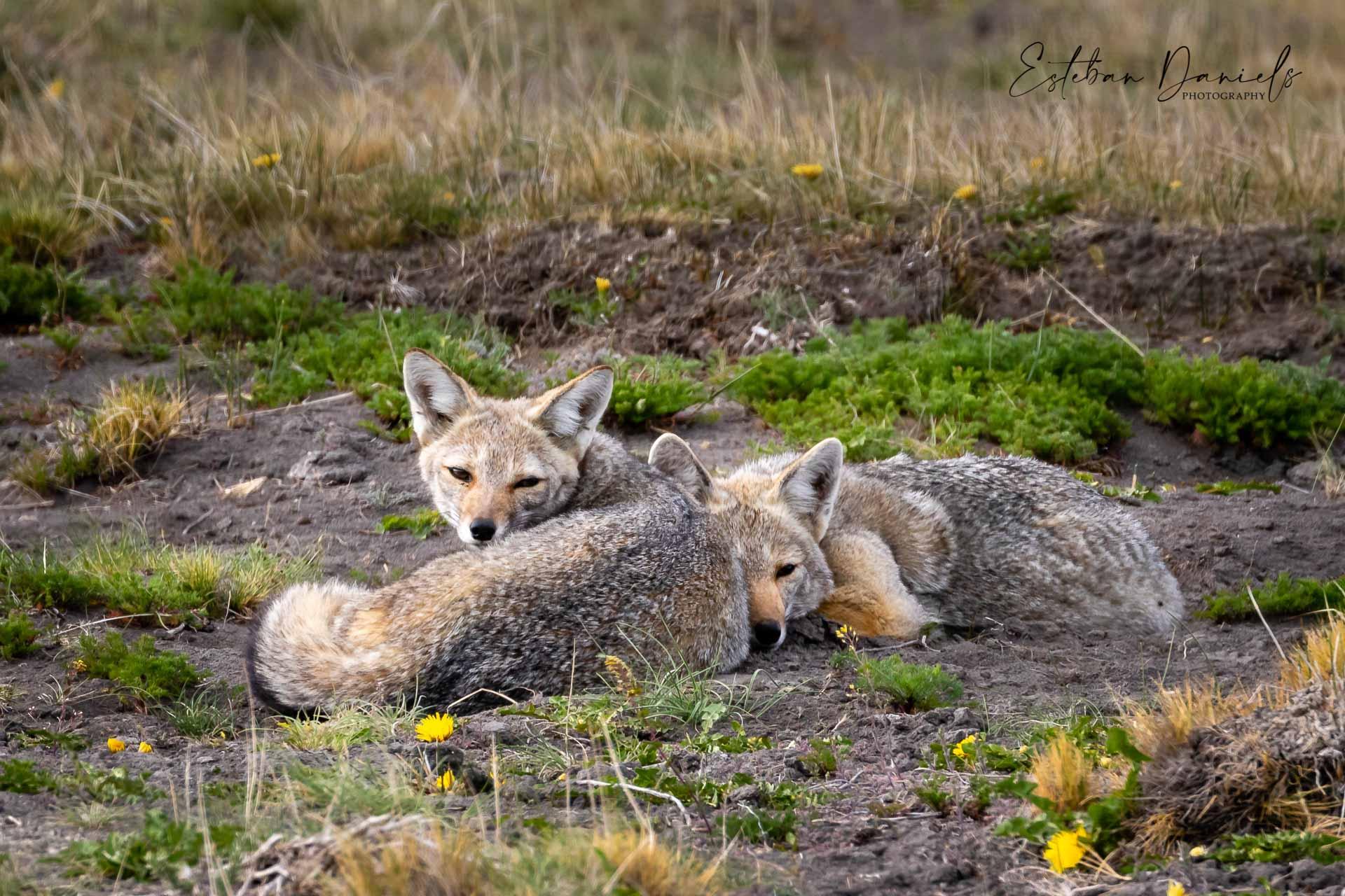 Patagonian Gray Fox