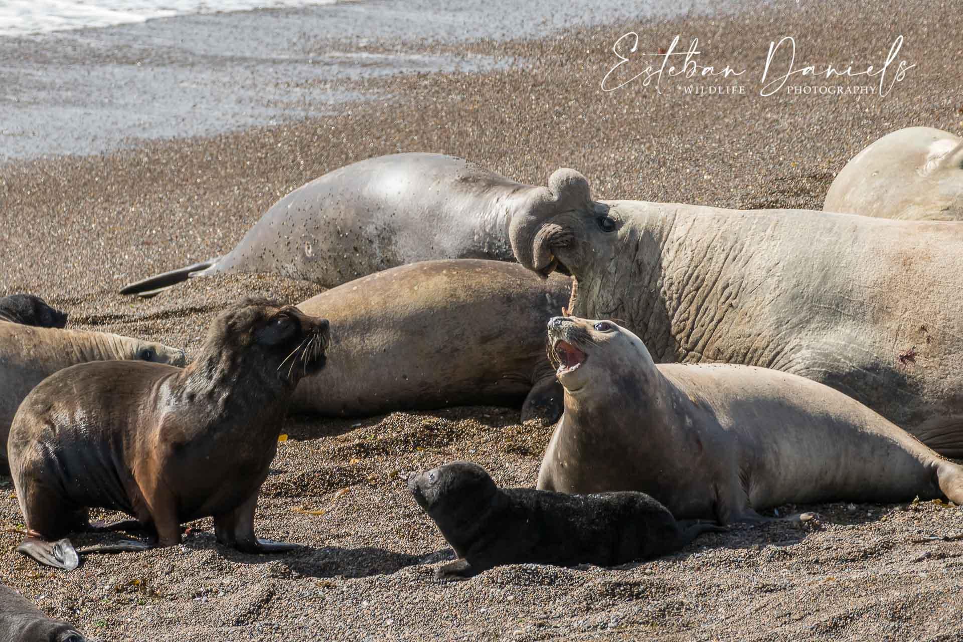 Southern Elephant Seal, Peninsula Valdes