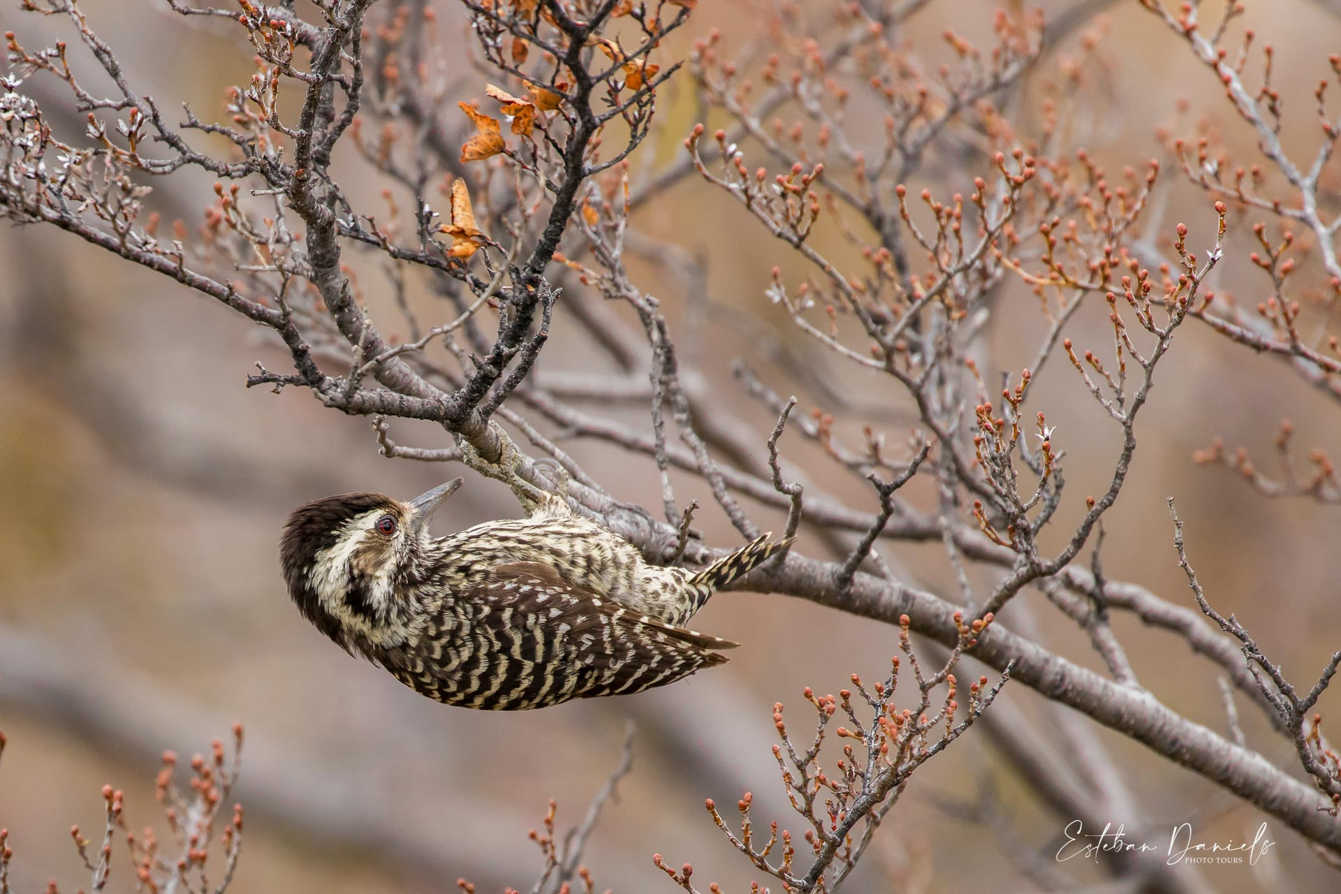 Striped Woodpecker