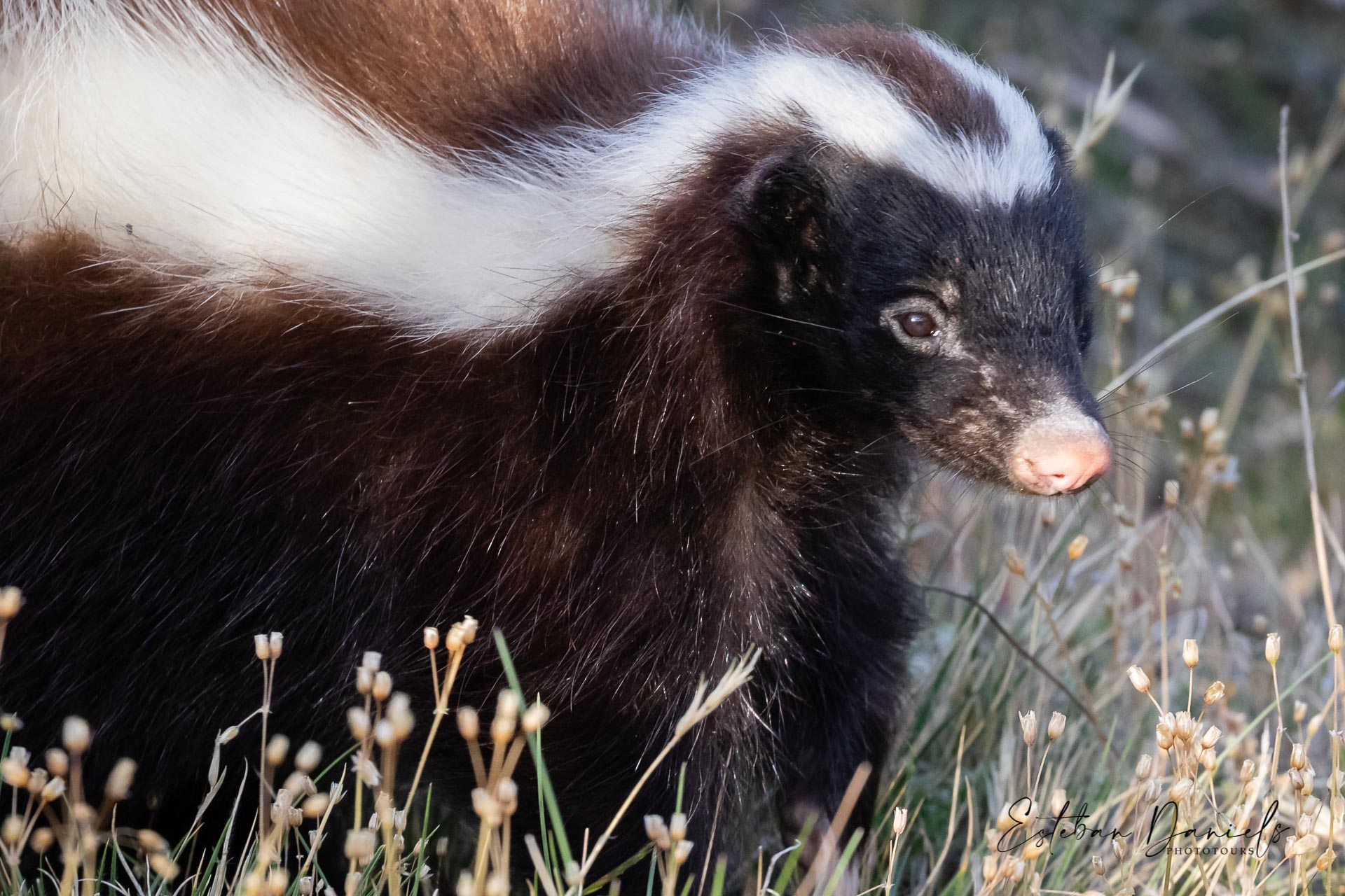 Patagonian Skunk