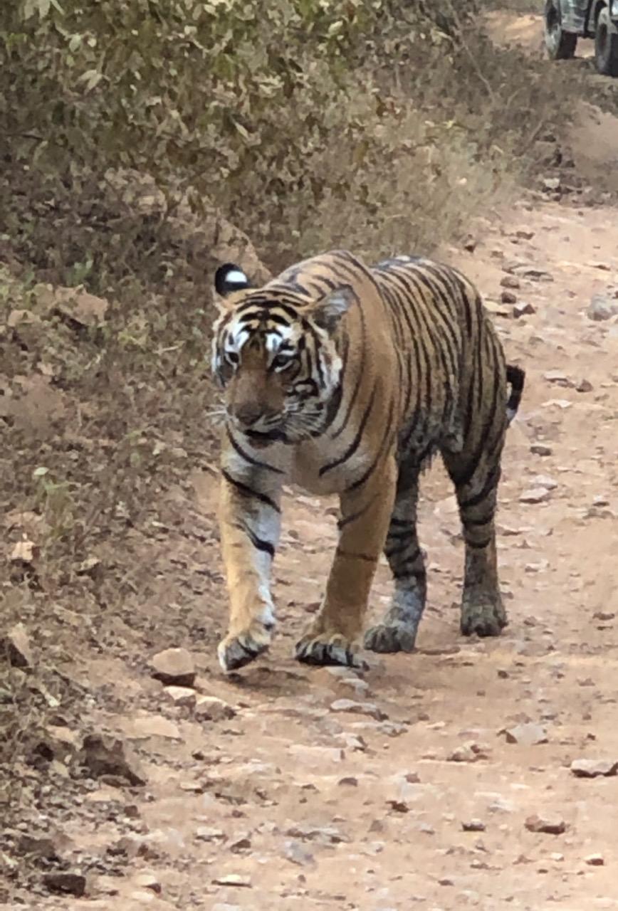 Tiger Safari, Ranthambore