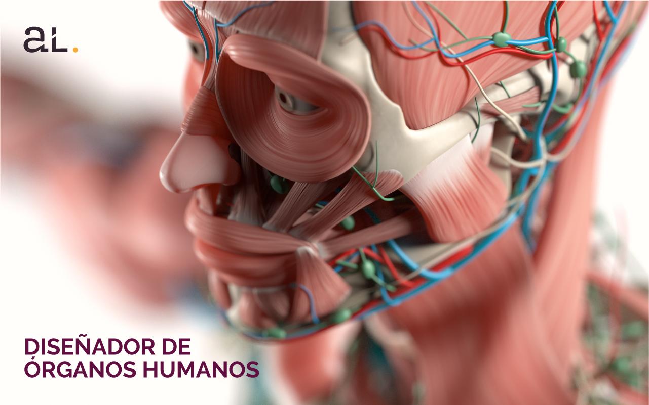 Diseñador de órganos humanos