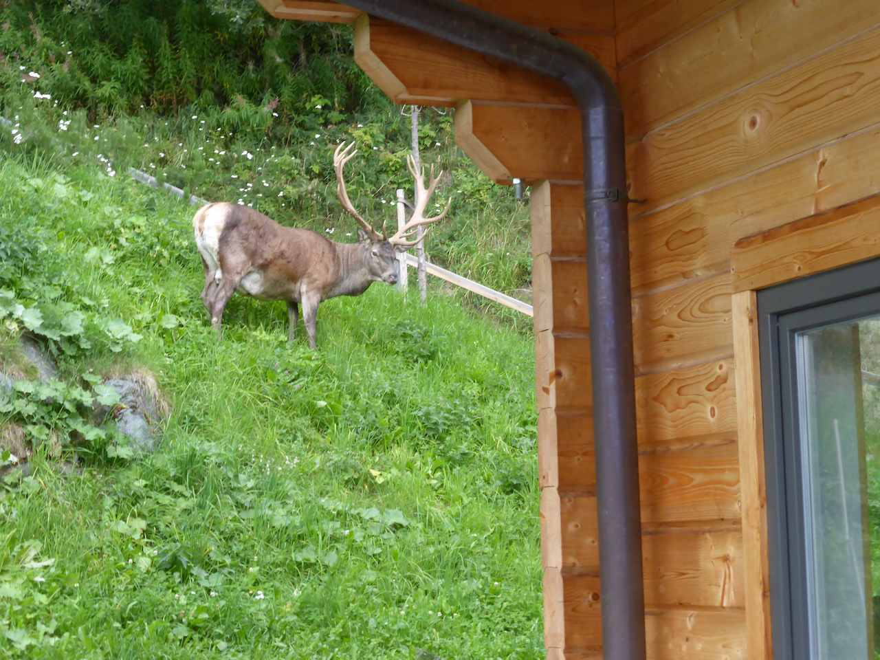 deer buck with huge antlers passing by our chalet
