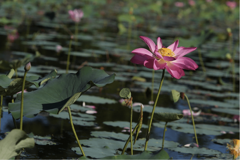 Leading From The Mud And Beyond About The Lotus Leading Lotus