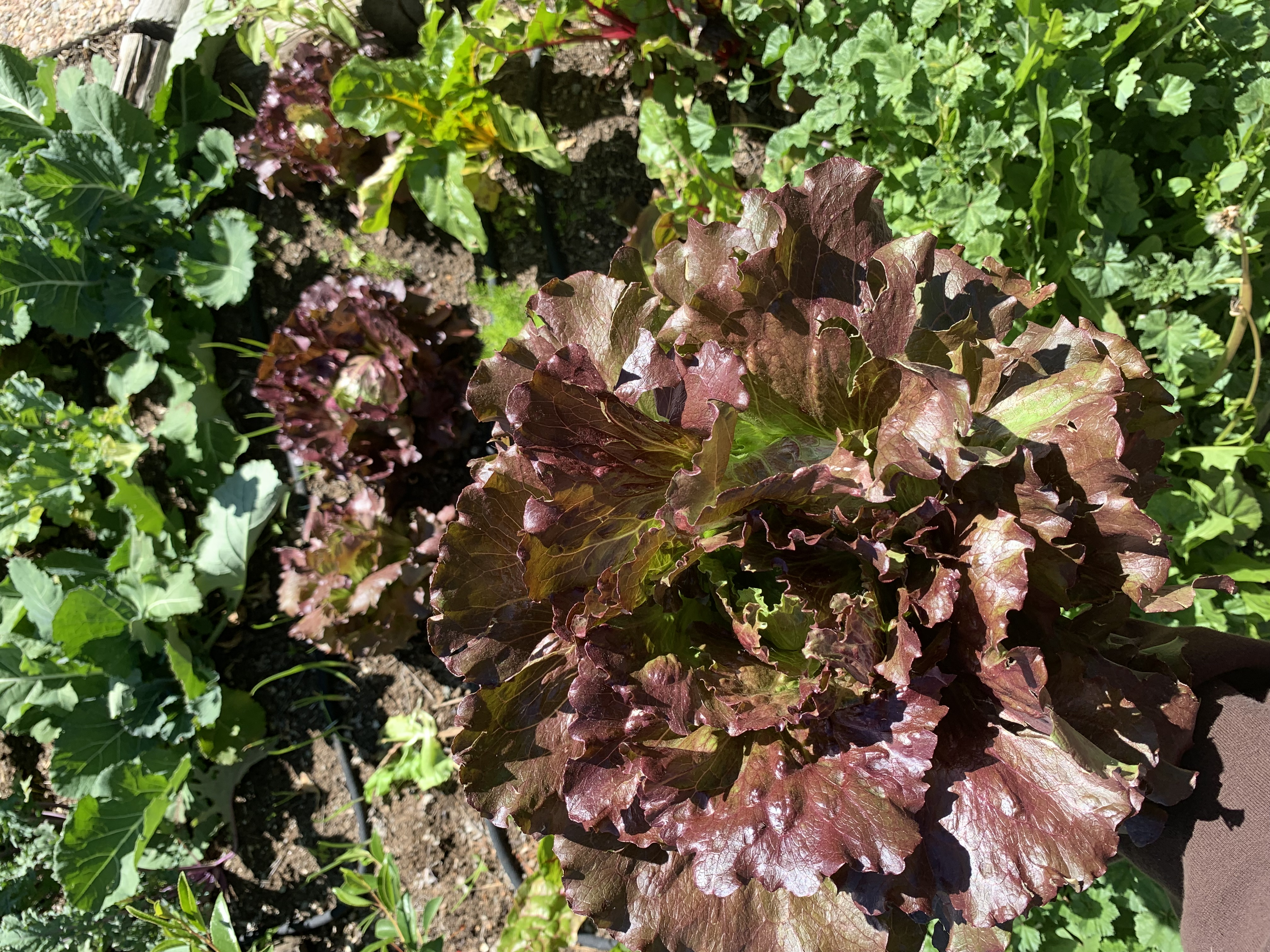 Lettuce heads and Swiss chard grown with local seed