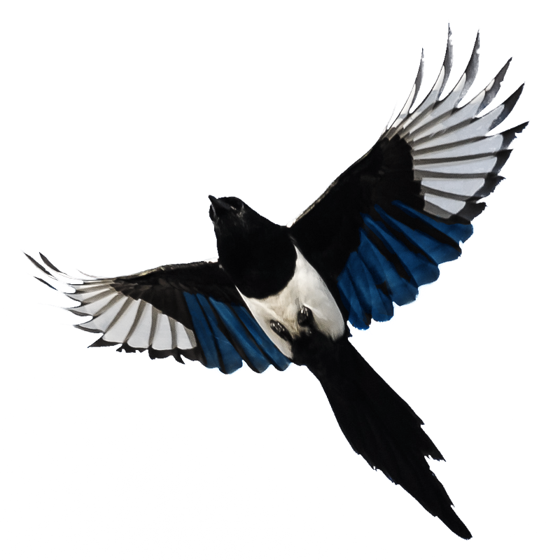 A photo of a magpie flying