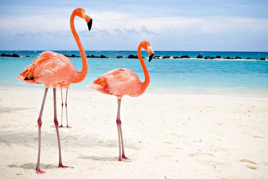 Fenicotteri Rosa in un viaggio di nozze ad Aruba