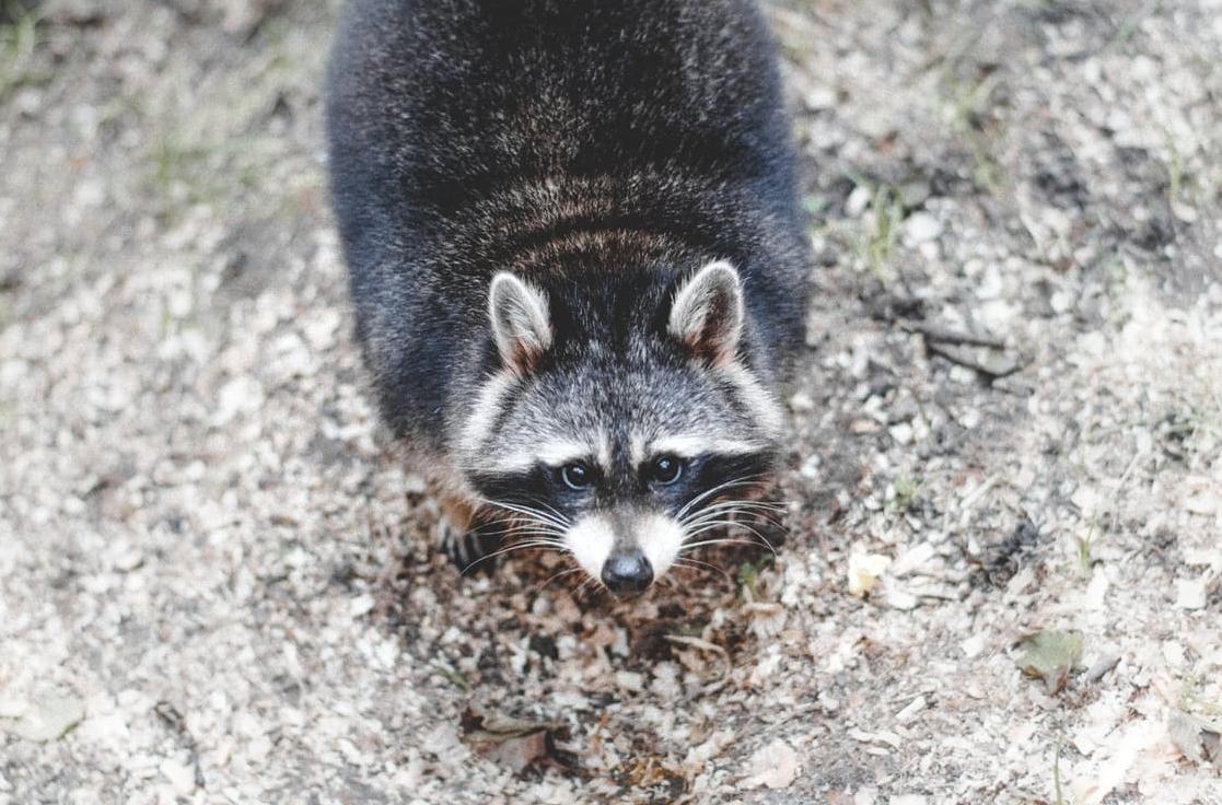 raccoon looking at the camera