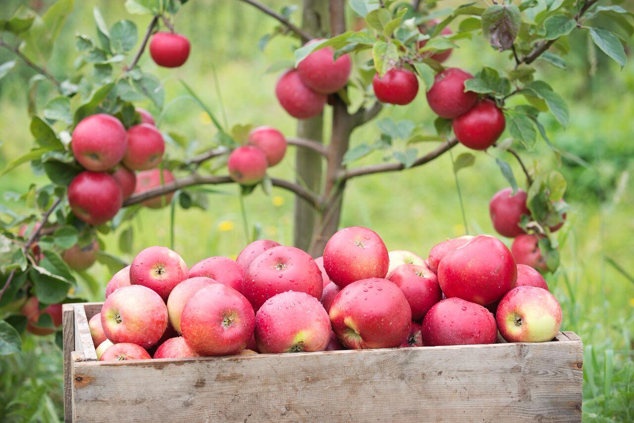 Bilde av epler