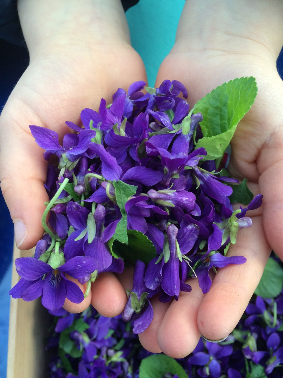 GRuB Youth holds a handful of fresh picked violets