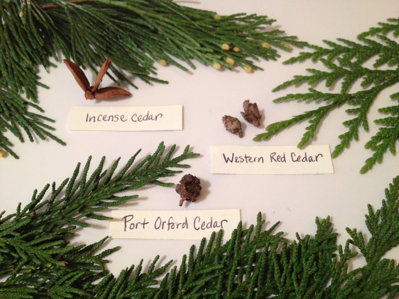 Teacher Training - Evergreen Conifers: The Gifts of N.W. Trees