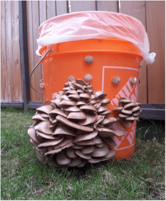 Fungi Perfecti Oyster Mushroom Workshop