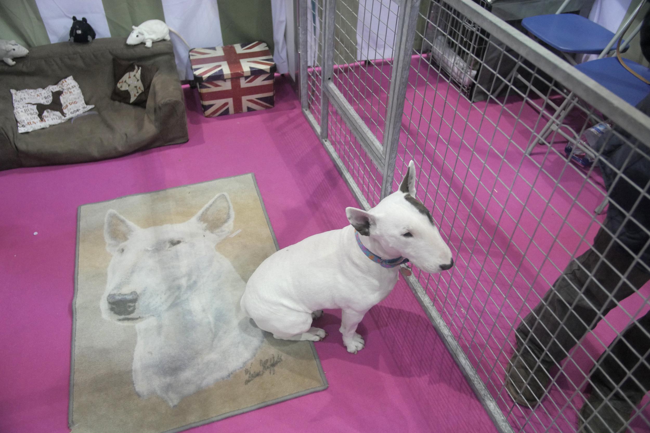 Miniature bull terrier & carpet