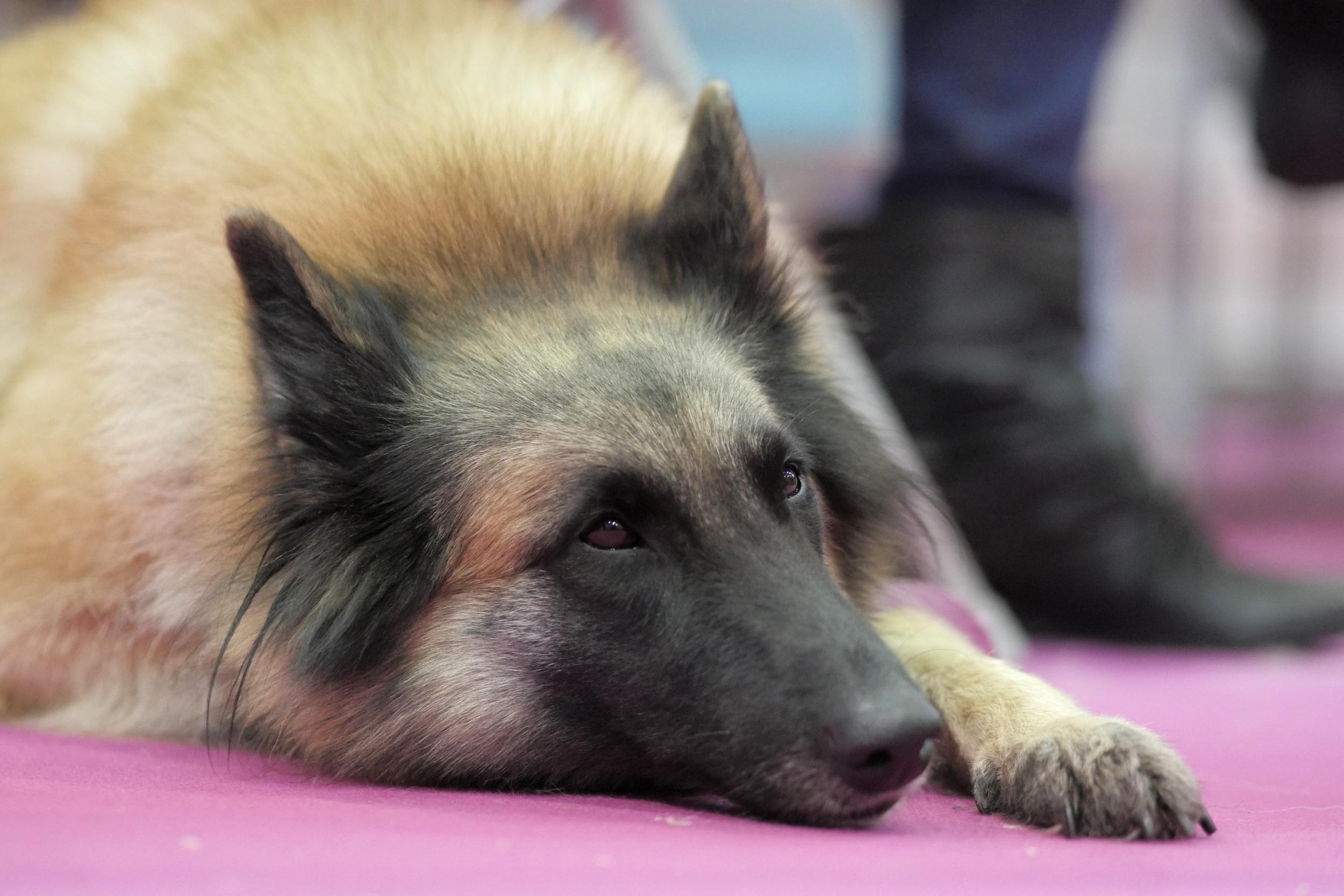 Belgian shepherd resting
