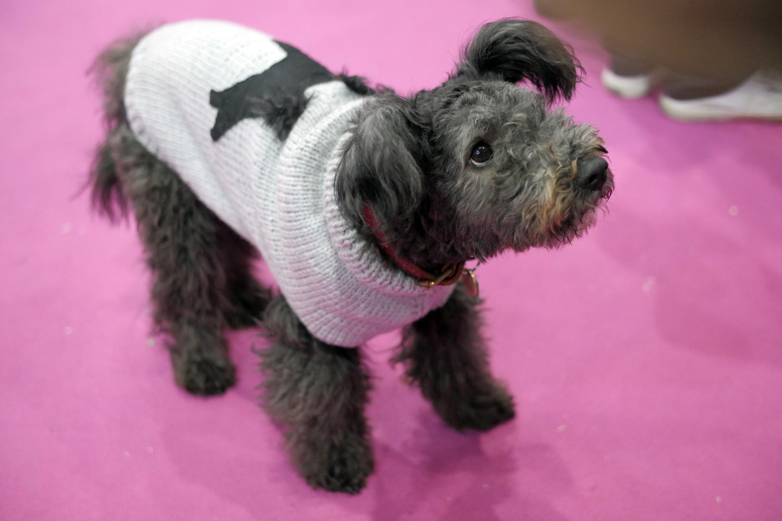 Bedlington terrier black