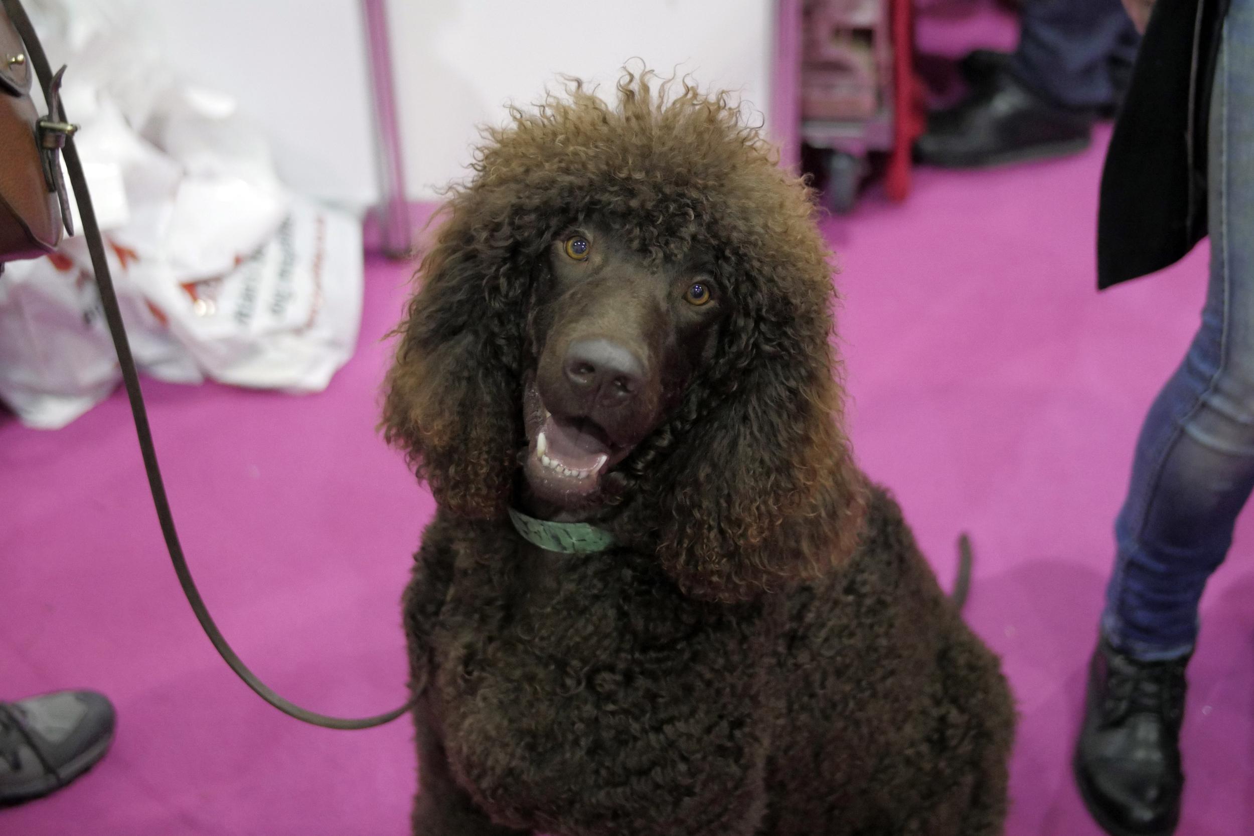 Big ol' brown poodle