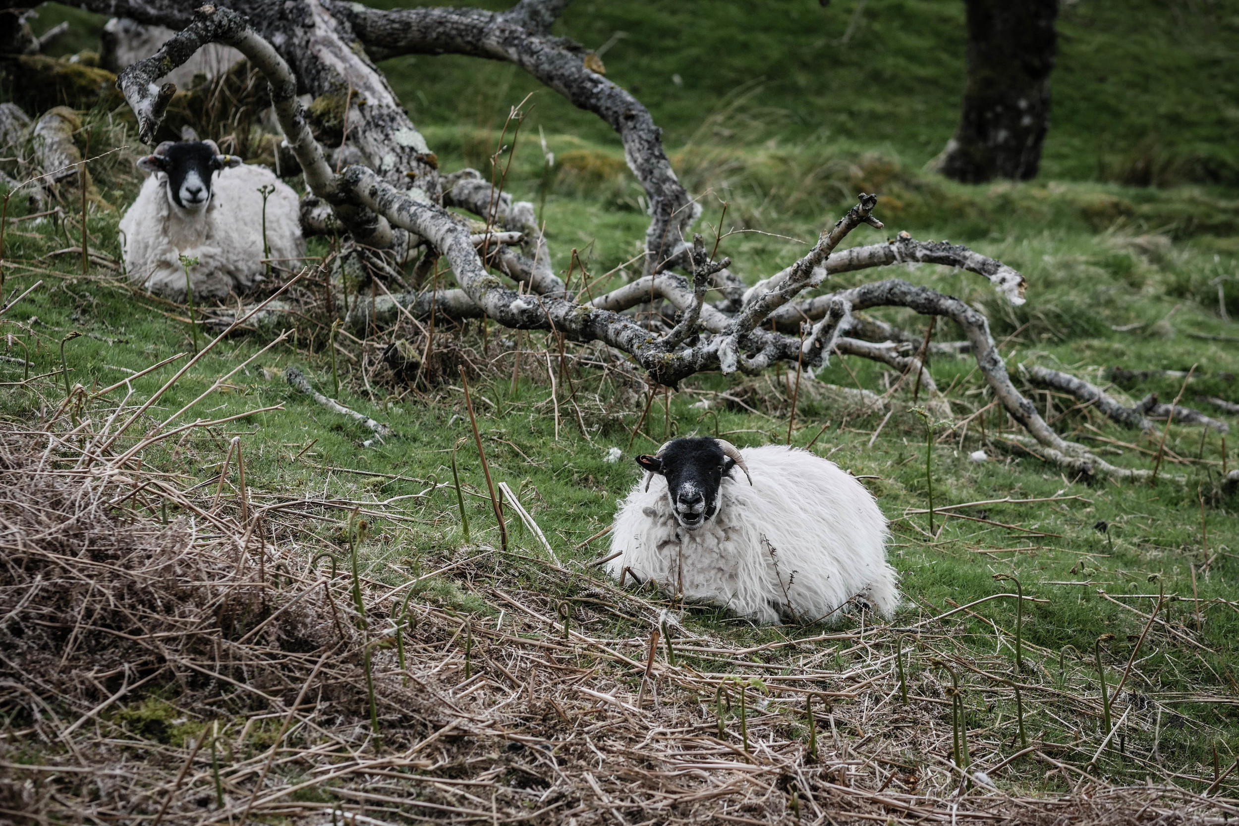 english northern sheep hiking trail eating