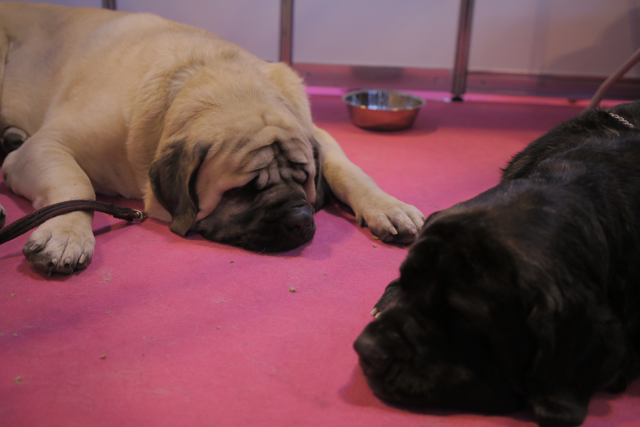 Sleeping pugs on rugs