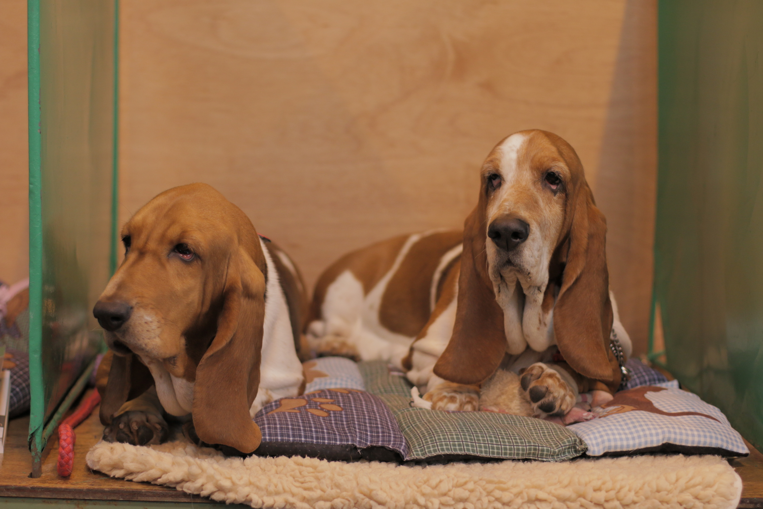 Basset hounds chilling