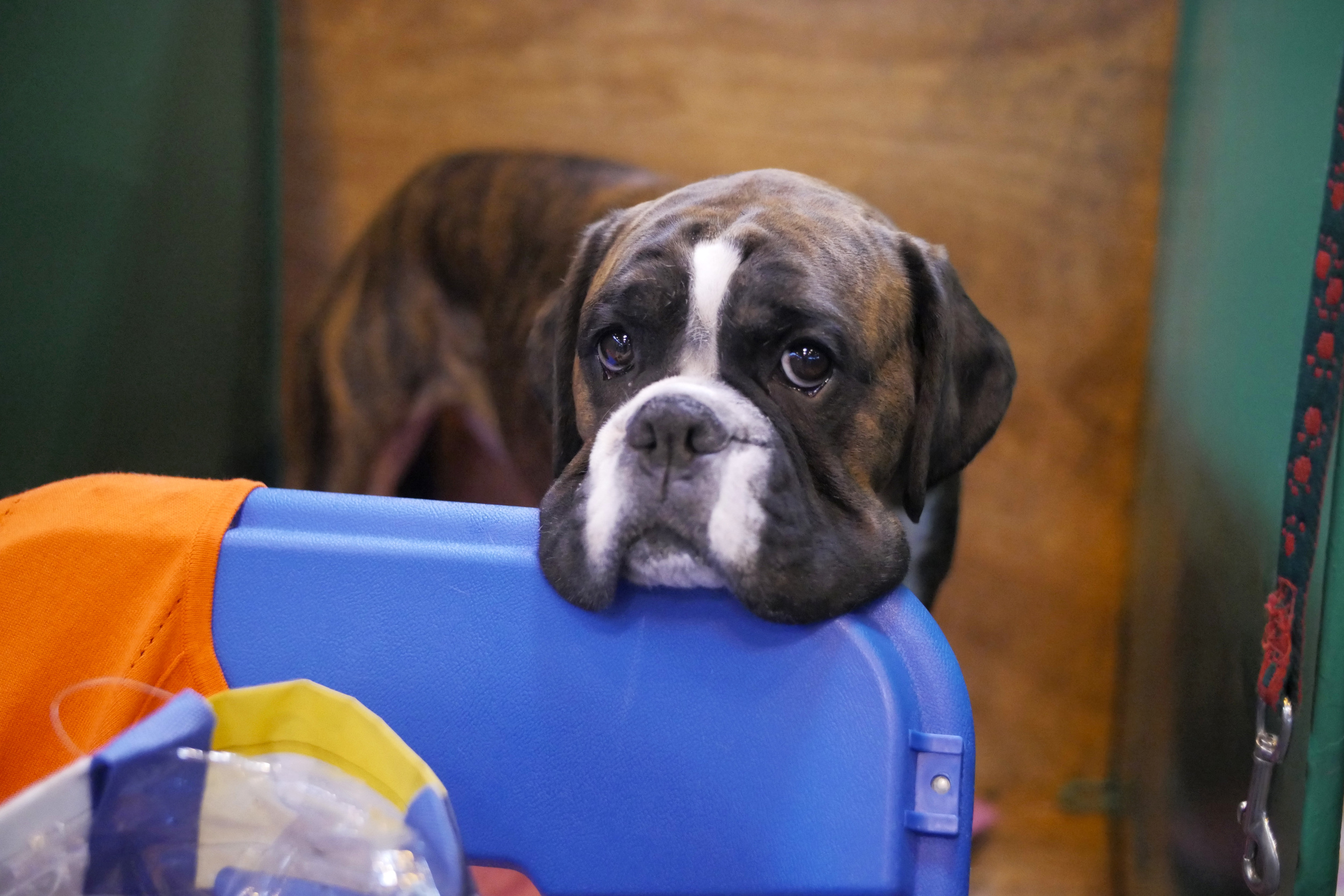 Looks like it's time to go home for this unbearably cute boxer. They have such a range of facial expressions!