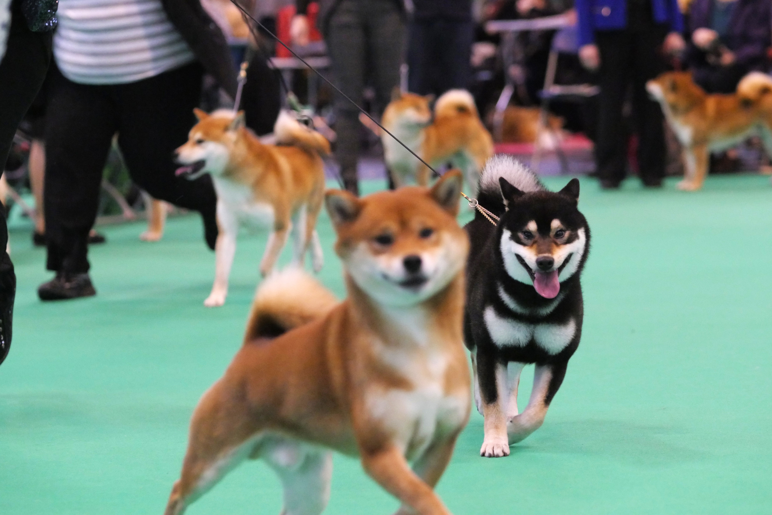 Japanese shiba inu going wild in the show ring