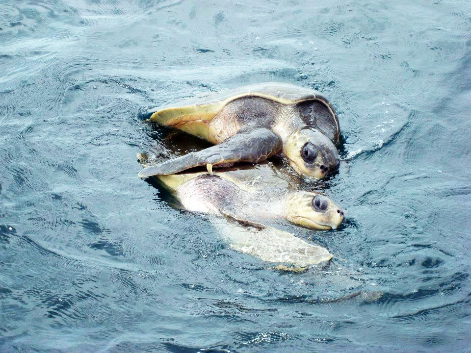 Two grown turtles peeking up from the sea