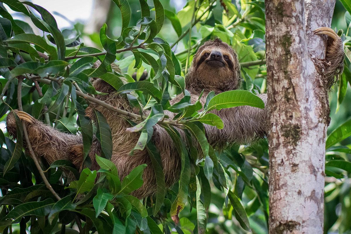 Sloth climbing a tree