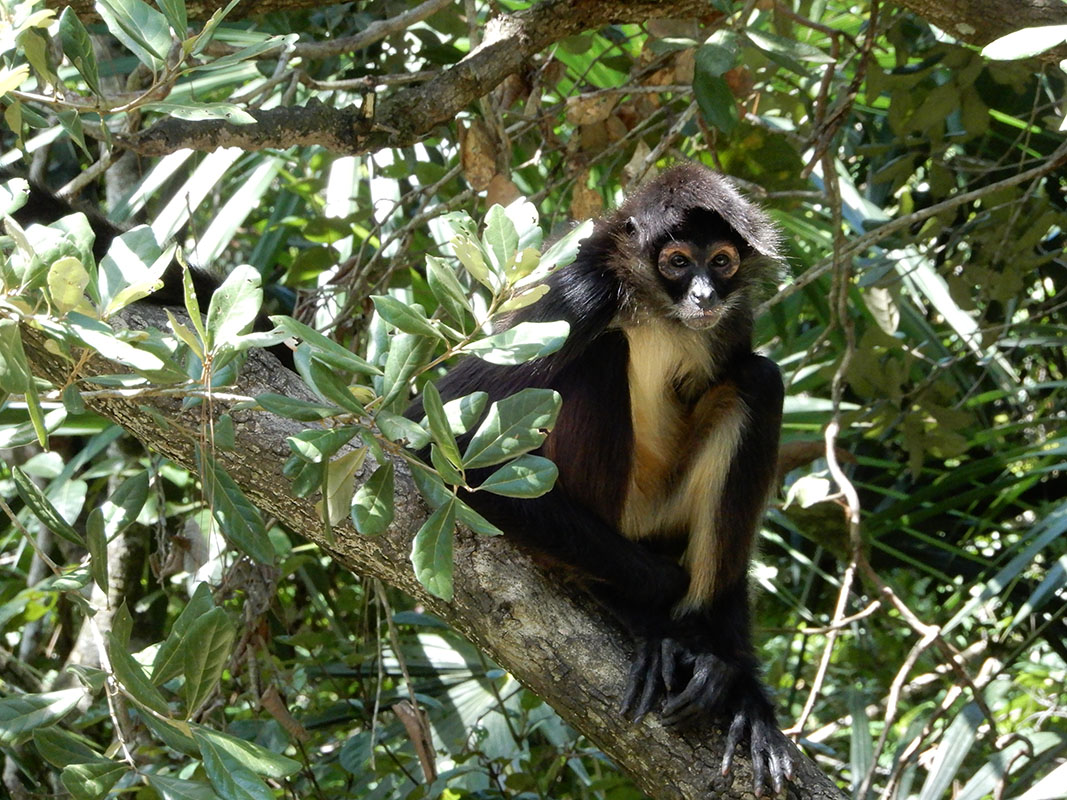 Spider monkey in tree