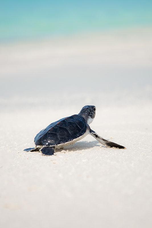 Baby turtle on beach