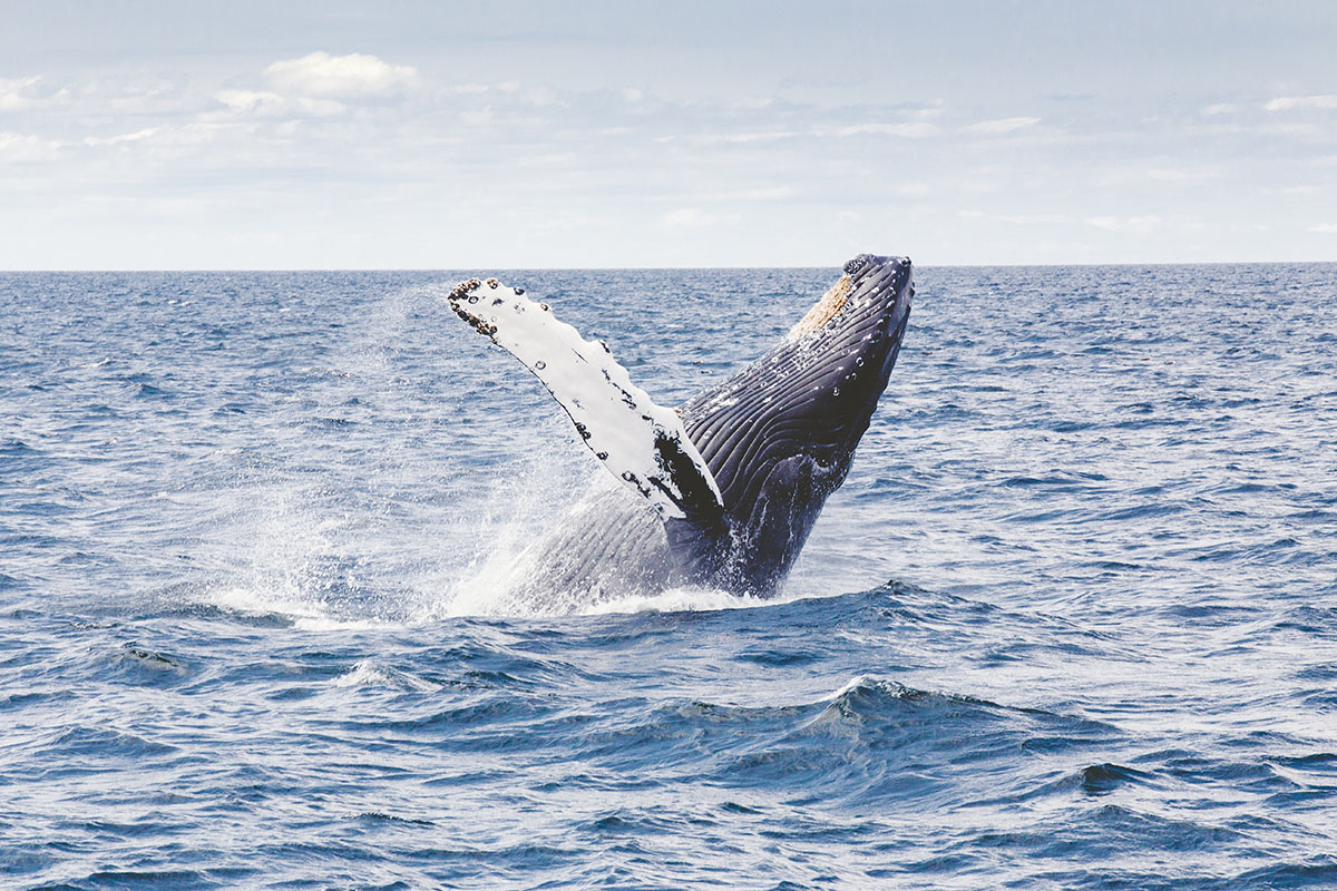 Humpback whale coming out of the sea