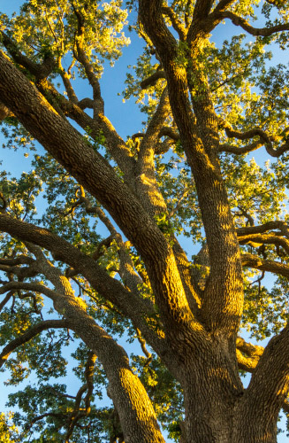 Photo of a Oak Tree