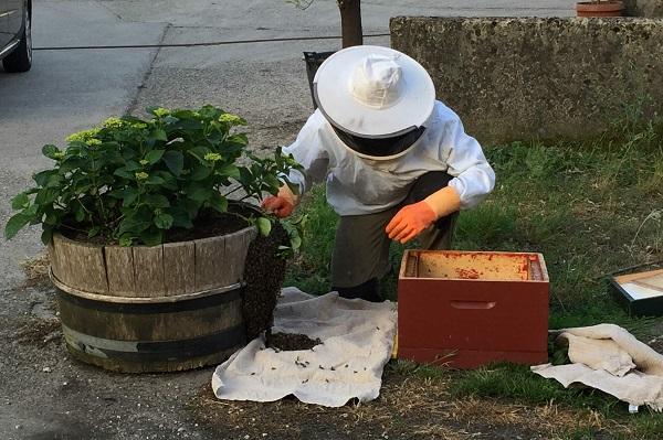 Nieuw bijenvolk zwermt uit bij De Woeste Wieven