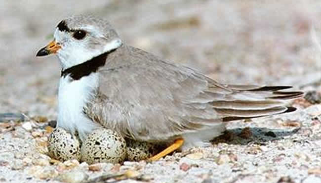piping plover sitting on eggs