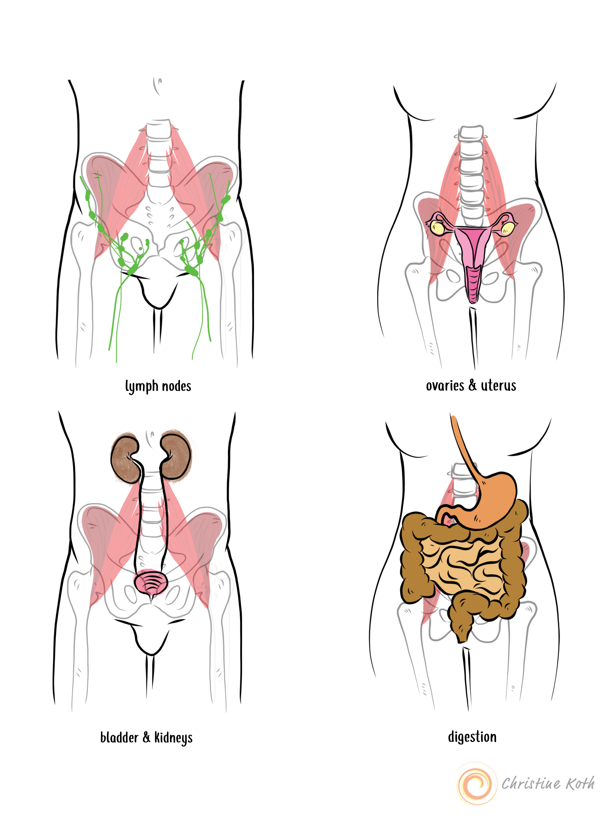 The iliacus and psoas are located adjacent to many of the abdominal structures