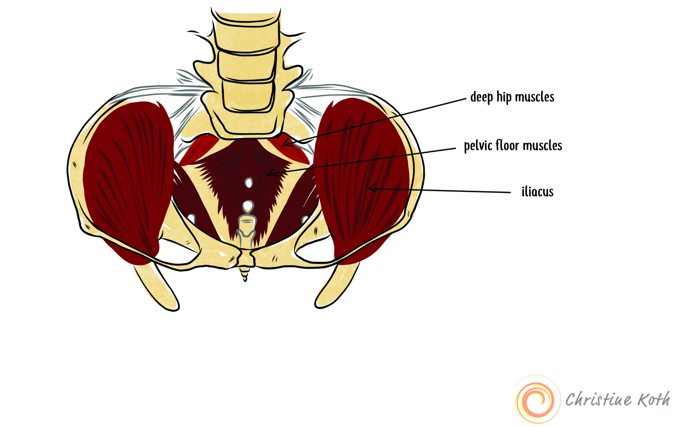 The iliacus and its intimate connection to the pelvic floor