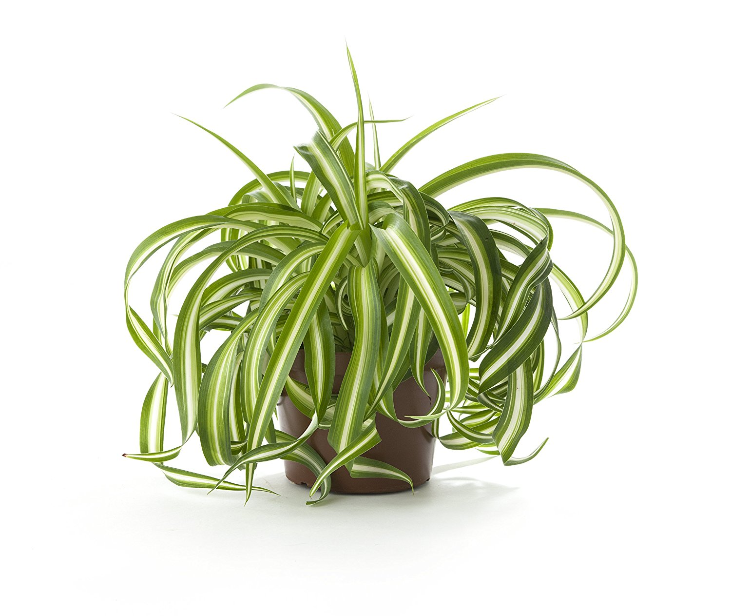 Spider Plant Air Quality