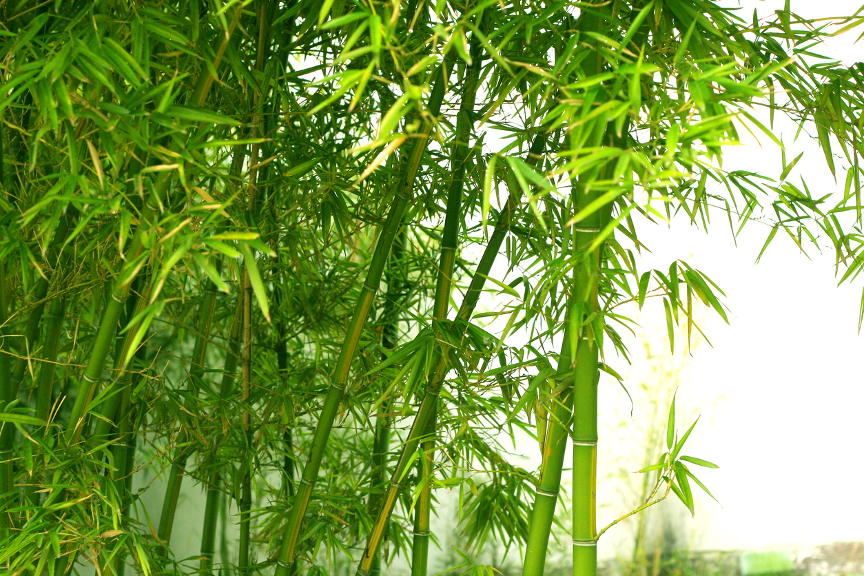 Bamboo Plant Air Quality