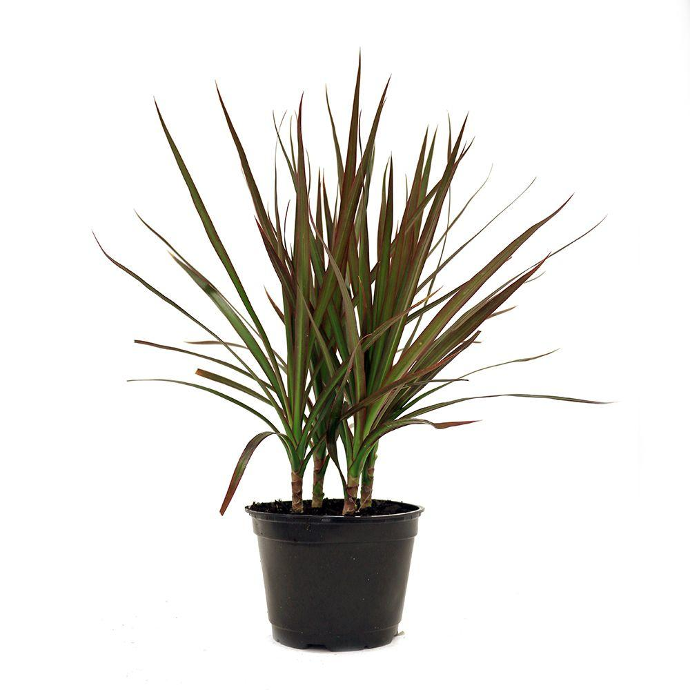 Dracaena Plant Air Quality