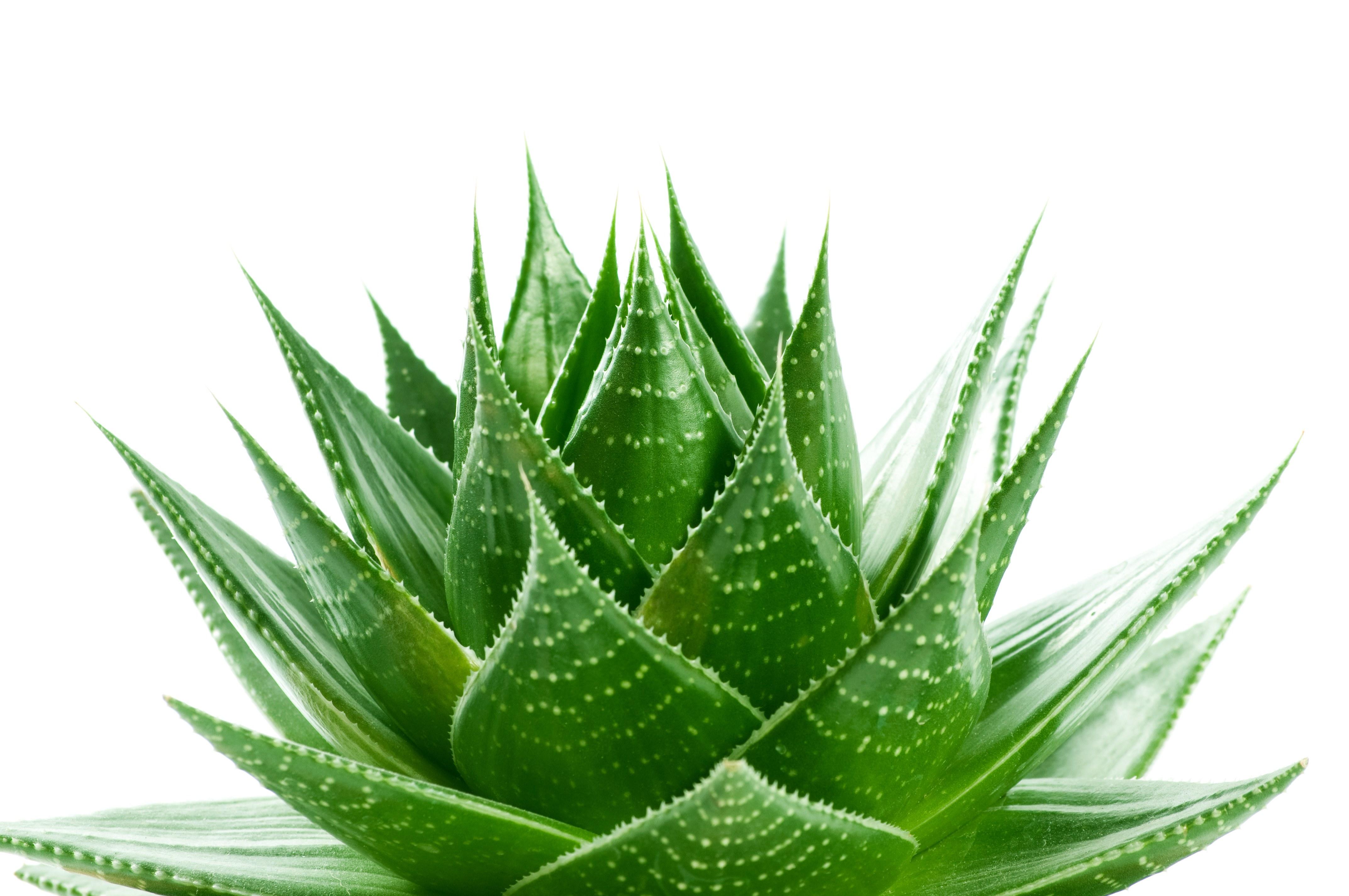 Aloe Vera Plant Air Quality