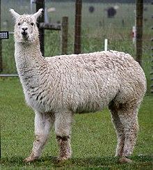 Alpaca Fence