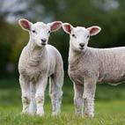 Sheep Fence