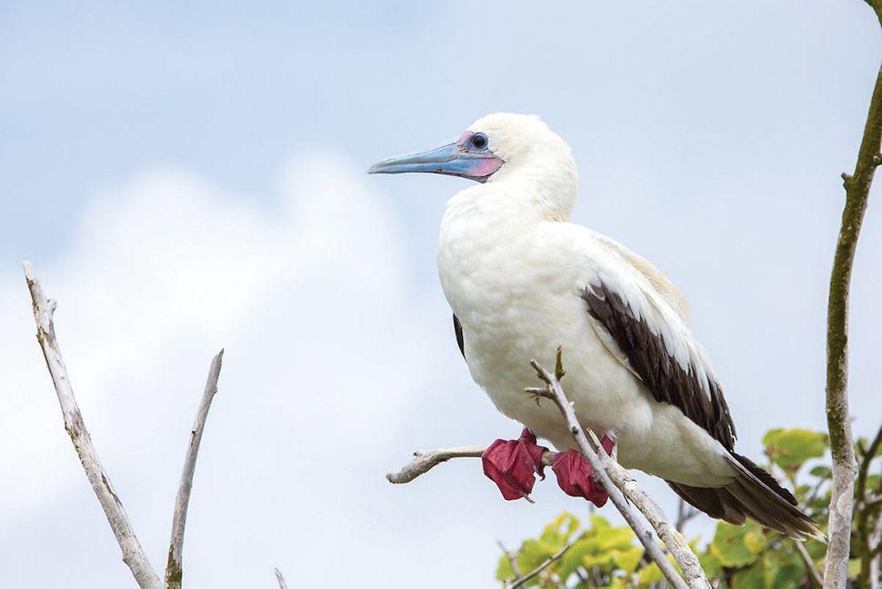 Silversea - Silver Galapagos - Rotfußtölpel