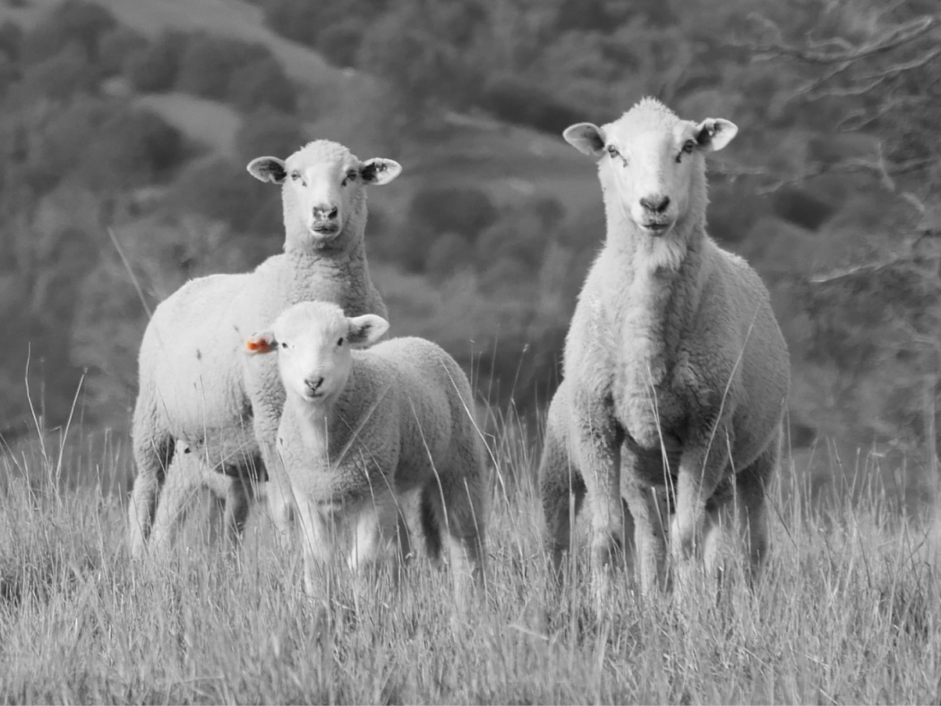 Sheep being managed by Farm App Mobble